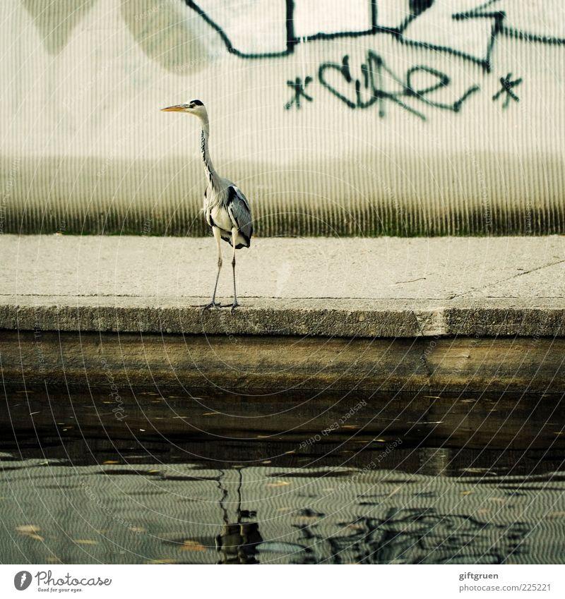 großstadtrevier Tier Wildtier Vogel 1 stehen Reiher Tiergesicht Schnabel Graffiti Mauer Wasser Teich Stein Spiegelbild Reflexion & Spiegelung Stadt