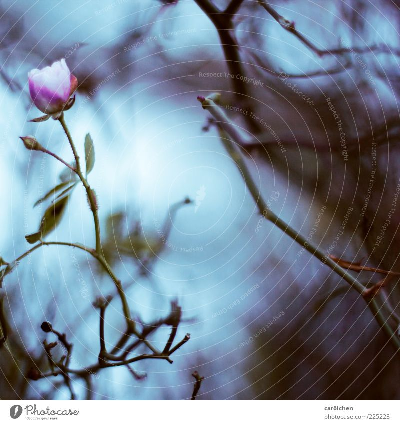 last rose Natur blau Pflanze Blume Blatt dunkel Garten Blüte Traurigkeit rosa Sträucher Rose violett Verfall Geäst trüb