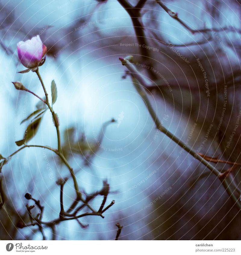 last rose Natur Pflanze Blume Rose Garten blau violett rosa Traurigkeit trüb Verfall dunkel Strauchrose Sträucher Geäst Farbfoto Gedeckte Farben Detailaufnahme