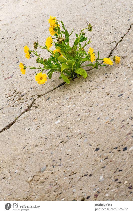 Durchbruch Umwelt Natur Erde Pflanze Blume Blüte Wildpflanze gelb Beton Blühend kämpfen Wachstum Armut authentisch Gesundheit schön stark grau Optimismus Kraft