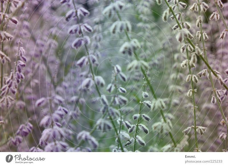 genau so Pflanze Frühling Schönes Wetter Blume Sträucher Grünpflanze Blühend Denken träumen Duft blau grün violett ruhig authentisch Hoffnung Zufriedenheit