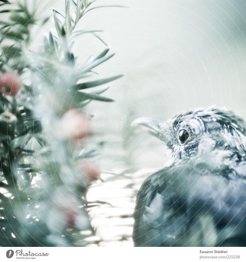 secret Baum Tier Auge Vogel Feder Wildtier Tiergesicht beobachten geheimnisvoll Schnabel Beeren Nahaufnahme Versteck gefiedert Eibe
