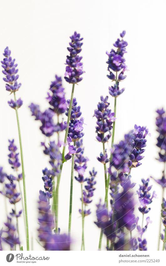 """""""wenn derSommer nicht mehr weit ist ..."""" weiß blau Pflanze Blume Blüte hell violett Kräuter & Gewürze Stengel Duft Geruch Lavendel Nutzpflanze"""