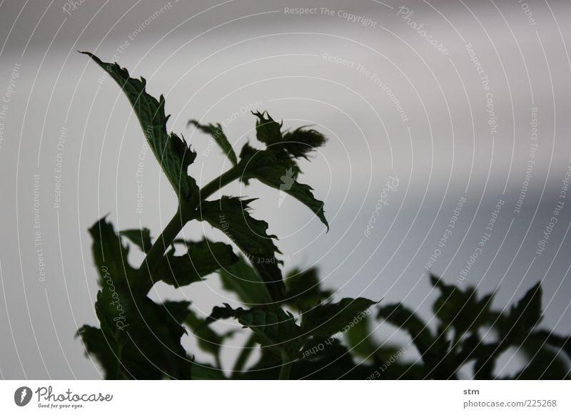 zart Lebensmittel Kräuter & Gewürze Minze Minzeblatt Ernährung Bioprodukte Umwelt Natur Pflanze Blatt Grünpflanze Wildpflanze Topfpflanze beobachten Blühend