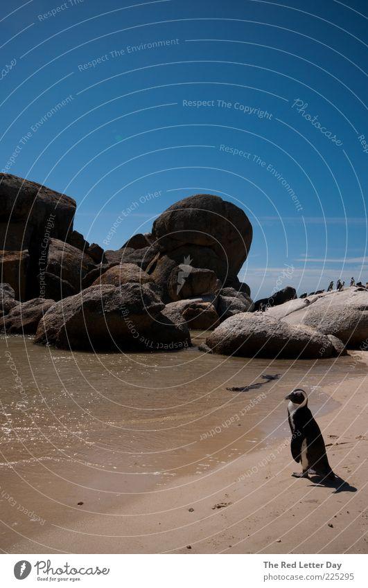 My dog's a penguin. Natur Wasser Sommer Meer Tier Umwelt Sand Küste Vogel beobachten Schönes Wetter Pinguin Sandstrand