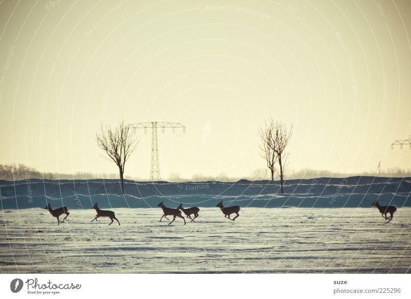 6 auf einen Streich Natur Landschaft Tier Himmel Wolkenloser Himmel Horizont Winter Schnee Wildtier Tiergruppe Herde rennen authentisch klein wild Reh Flucht