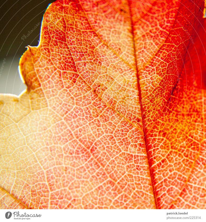 Remember September Umwelt Natur Pflanze Herbst Schönes Wetter ästhetisch rot Blattadern Indian Summer Farbfoto Nahaufnahme Detailaufnahme Makroaufnahme