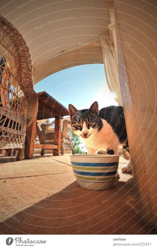 El Hau-Stier blau Tier Holz Katze braun Tisch Perspektive Boden Stuhl unten Fell Schönes Wetter Terrasse Haustier Fressen Schalen & Schüsseln