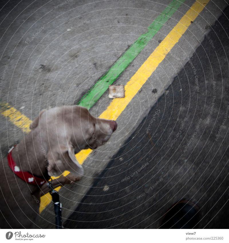 Gassi gehn grün Tier gelb Wege & Pfade Hund Linie gehen Ordnung ästhetisch Perspektive Streifen authentisch Asphalt niedlich Kontrolle mehrfarbig