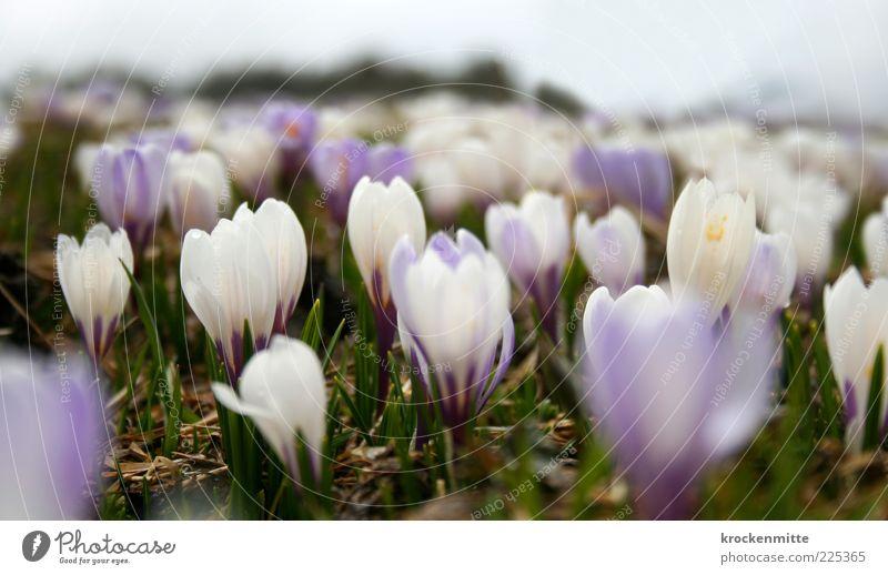 Alpenfrühling III Natur weiß grün schön Pflanze Ferne Wiese Landschaft Umwelt Frühling Erde Blume zart violett Schweiz Blühend