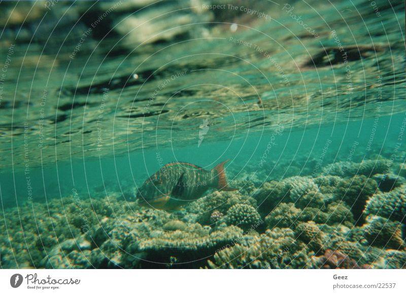 Koral Unterwasseraufnahme koral coral koraal fish tropical fish ocean underwater