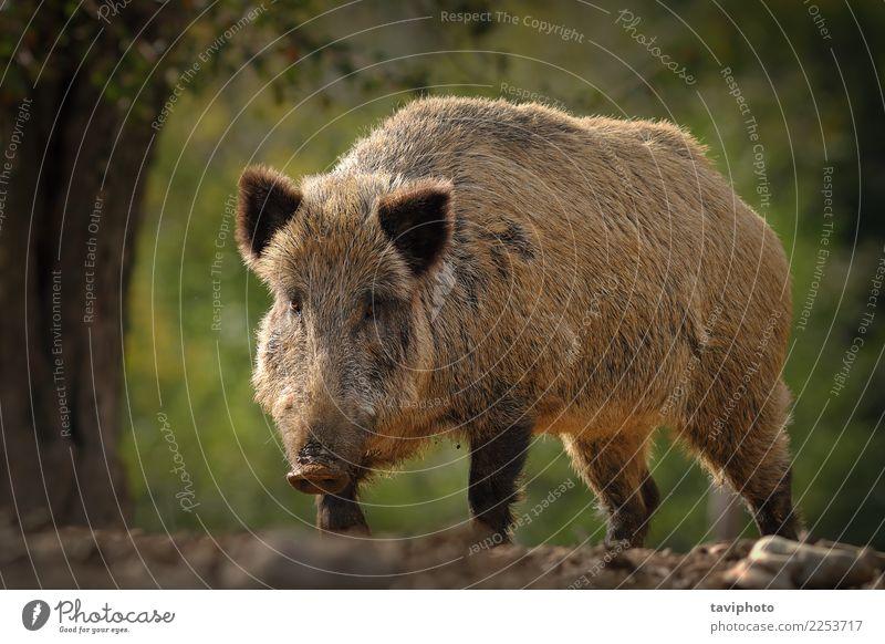 riesiges Wildschwein kommt in Richtung der Kamera Natur Mann schön Tier Wald Gesicht Erwachsene Umwelt Herbst braun wild gefährlich groß Lebewesen stark