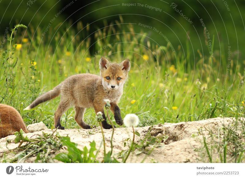 kleines Rotfuchsjunges Natur Hund Farbe schön grün rot Tier Tierjunges Umwelt Wiese natürlich Gras wild Aktion Baby