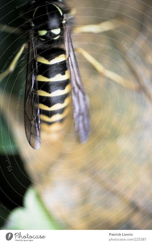 I saw you in the wild Natur schön Pflanze Blatt schwarz Tier gelb Umwelt Stimmung Beine sitzen ästhetisch natürlich Wildtier Flügel Wespen