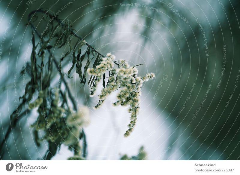 Draussen Natur weiß grün blau Pflanze Winter kalt Umwelt Bewegung ästhetisch Sträucher dünn Blühend hängen