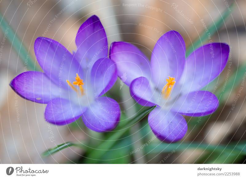 Zwei Krokusse in Nahaufnahme in violett, gelb und grün Natur Pflanze Frühling Schönes Wetter Blume Blatt Blüte Wildpflanze Frühblüher crocus Wachstum Duft