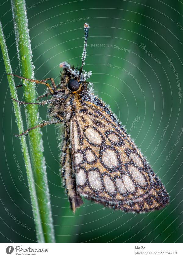 Falter mit Morgentau Natur Wassertropfen Moor Sumpf Tier Wildtier Schmetterling Flügel 1 grün Spiegelfeck-Dickkopf-Falter Tau Farbfoto Gedeckte Farben
