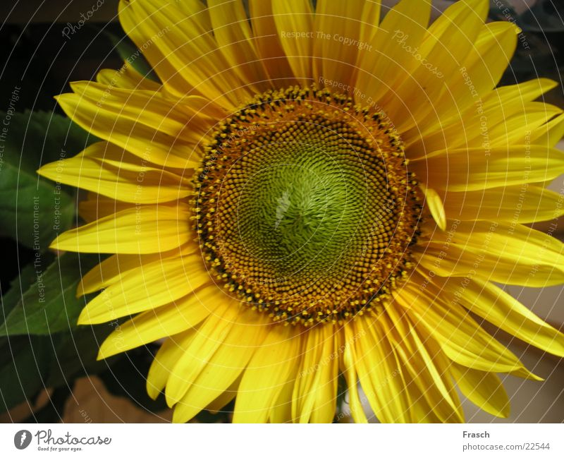 Sonnenblume Sommer Feld