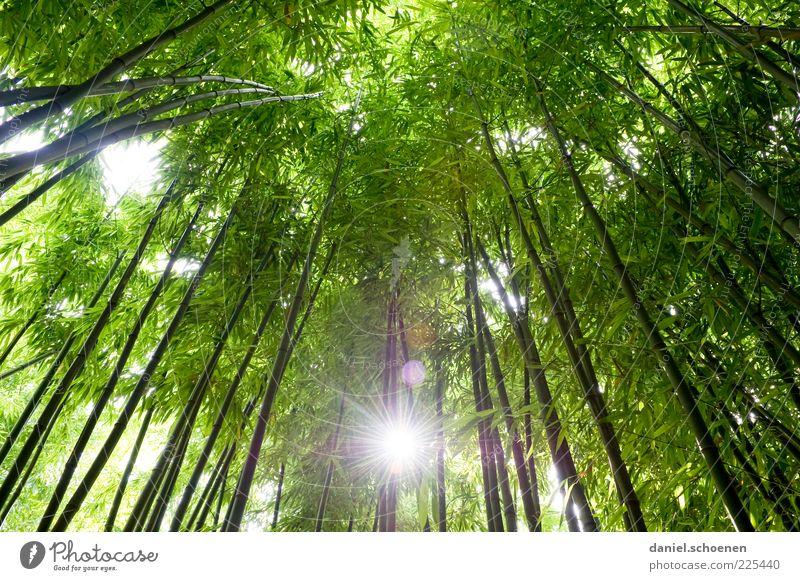 neulich in Asien Umwelt Natur Pflanze Baum Wald Urwald grün Wachstum Bambus Licht Sonnenlicht Sonnenstrahlen Froschperspektive Gegenlicht Blätterdach