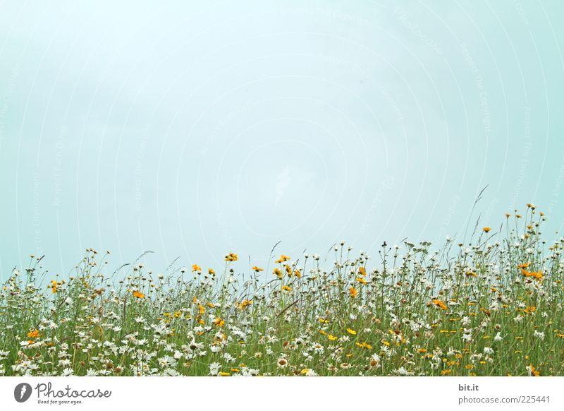 Sommerwiese... Himmel Natur Pflanze Sommer Blume Wiese Umwelt Gras Frühling natürlich Margerite Vorfreude Blumenwiese sommerlich Frühlingsgefühle Sommertag