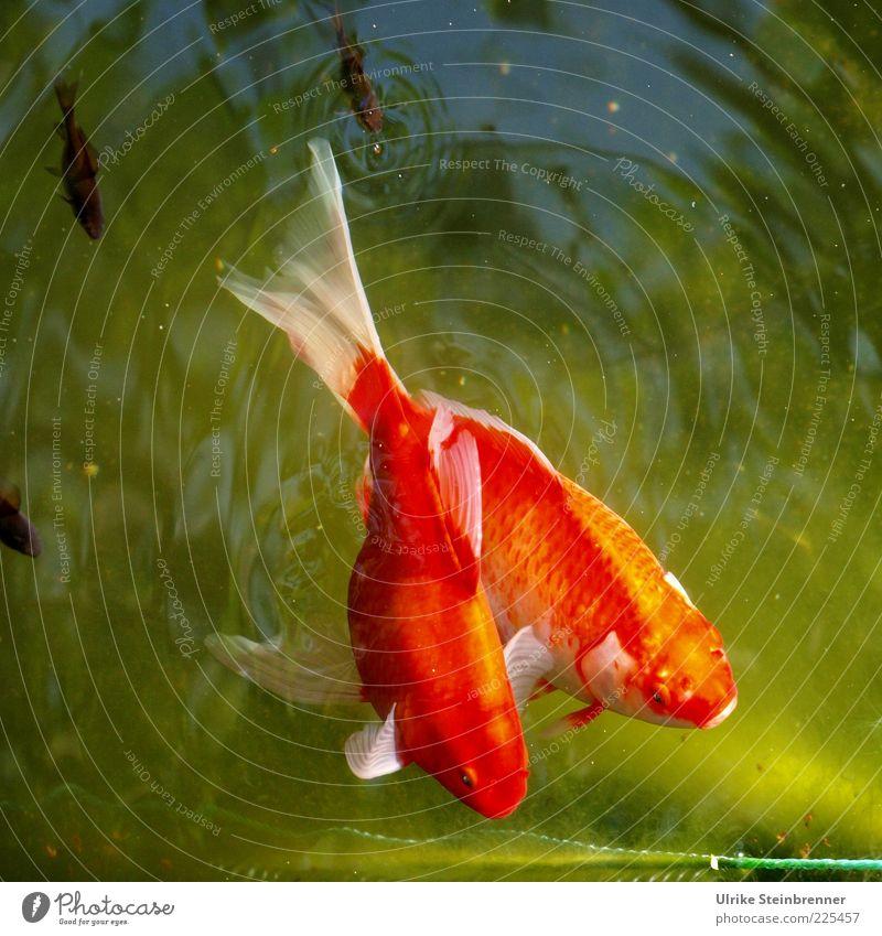 Elternschaft schafft! Natur Tier Wasser Sommer Teich Haustier Fisch Tiergruppe Tierpaar Tierfamilie glänzend schön grün rot 2 Nachkommen Flosse Zusammenhalt