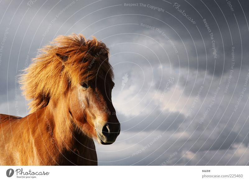 Gegenwind Tier Himmel Wolken Wind Nutztier Wildtier Pferd Tiergesicht stehen warten ästhetisch natürlich wild Stimmung Mähne Island Ponys Farbfoto mehrfarbig
