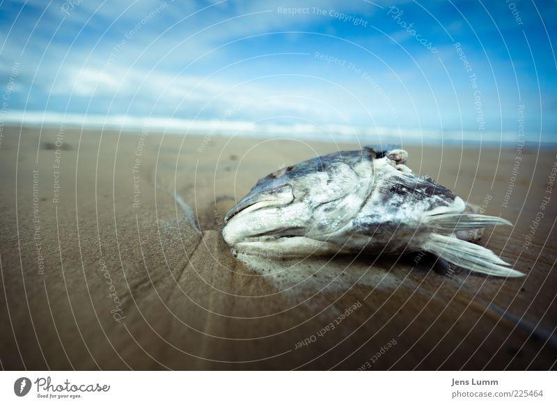 Bad Fish Ekel blau braun Fisch Strand Himmel Wolken verdorben Tod Flosse stinkend Übelriechend Surrealismus Farbfoto Außenaufnahme Textfreiraum links