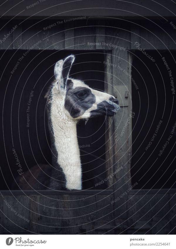 uffbasse! Hütte Tier Zoo Streichelzoo 1 beobachten klug Lama scheckig Stall offen Wachsamkeit Farbfoto Gedeckte Farben Außenaufnahme Nahaufnahme Detailaufnahme