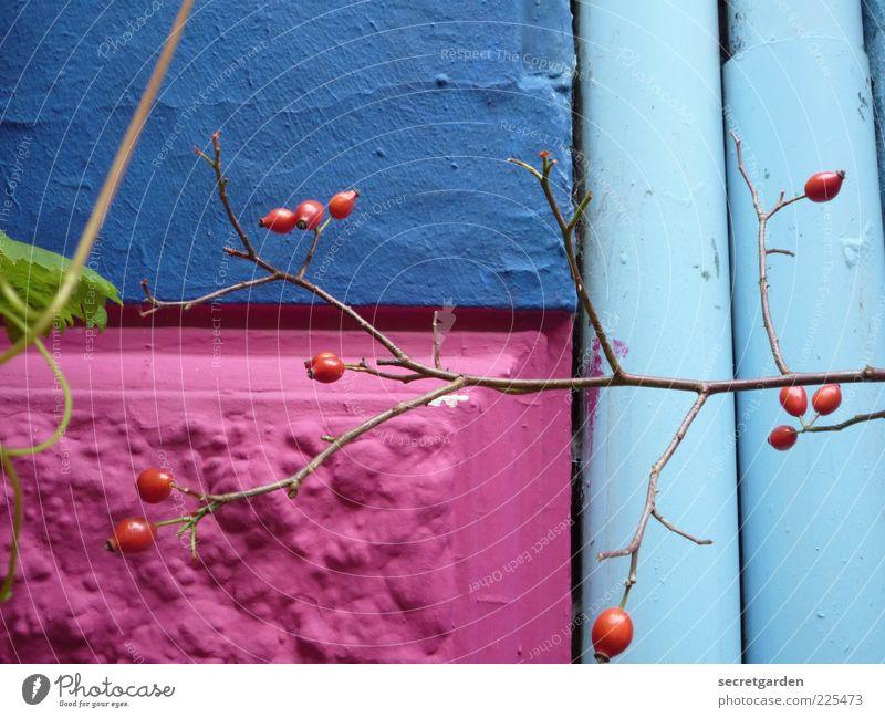 mauerblümchen. Frucht Umwelt Natur Frühling Pflanze Sträucher Haus Bauwerk Gebäude Fassade Regenrinne Wachstum schön blau rosa rot Farbe Farbfoto mehrfarbig