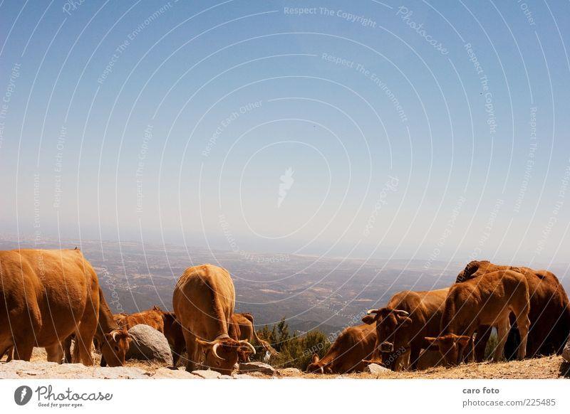 echte Bio-Kühe Himmel blau Sommer ruhig Ferne Tier Freiheit Berge u. Gebirge Glück braun Zufriedenheit Tierjunges Tiergruppe Fell Kuh genießen