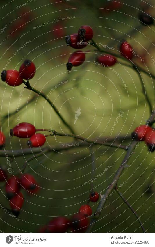 Haaaage budde Natur Pflanze Herbst Rose stachelig grün rot Farbfoto Außenaufnahme Menschenleer Tag Hundsrose Zweige u. Äste Beeren Textfreiraum unten Geäst