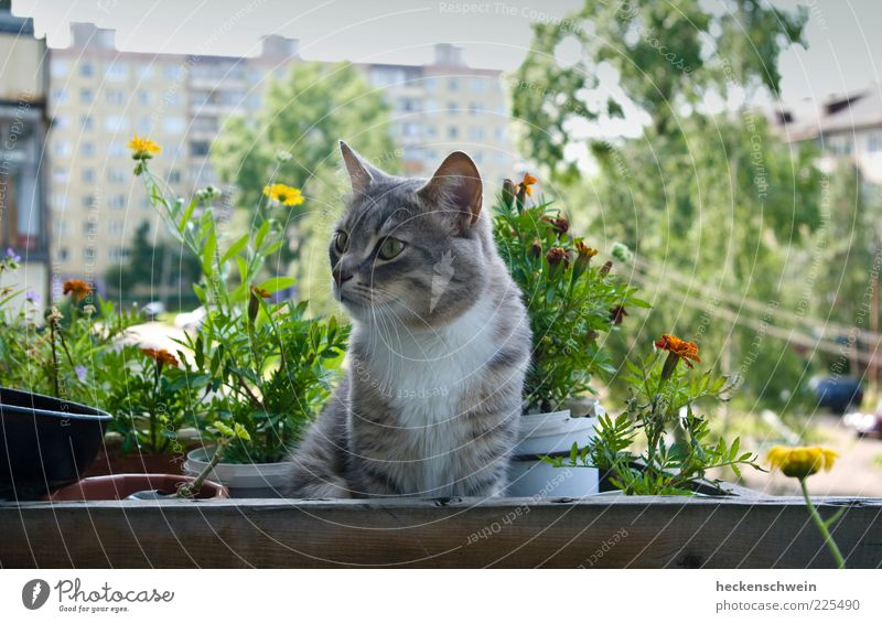 Blumenkater Haustier Katze 1 Tier beobachten warten Blumentopf Baum Balkon Hochhaus Hauskatze Pflanze Hof Sommer Farbfoto Außenaufnahme Menschenleer Tag