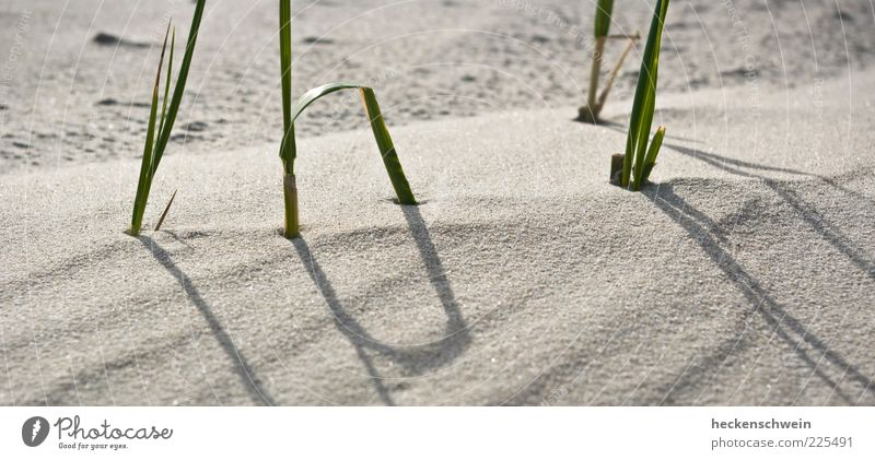 _IIII_ Natur schön Sommer Strand Gras Sand Stengel Ausdauer standhaft Dünengras