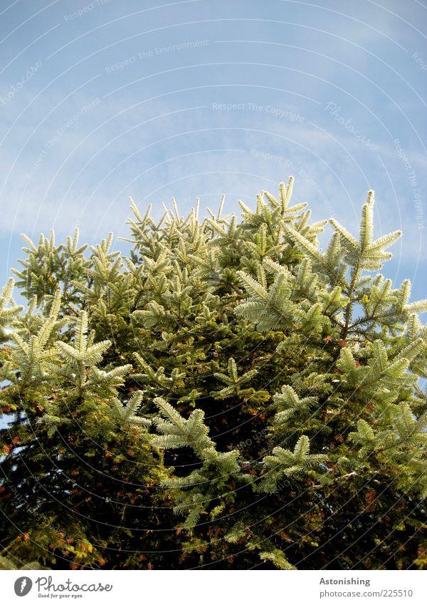 o Tannenbaum Umwelt Natur Pflanze Himmel Wolken Winter Wetter Schönes Wetter Eis Frost Schnee Baum Grünpflanze stehen Wachstum hoch Spitze stachelig Nadelbaum