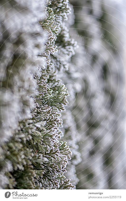 Frost auf Ästen Winter Schnee Natur Pflanze Wetter Baum Blatt Park Wald natürlich grün weiß Ast Großstadt kalt Kristalle Tanne Reif Eis eisig Jahreszeiten Holz
