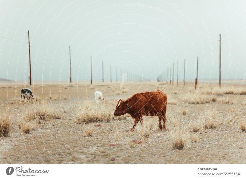 Kühe Altai Steppe Natur Tier Herbst braun Tiergruppe Kuh Nutztier