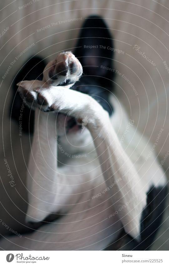 Noch 5 Minuten... Tier Hund Pfote 1 liegen träumen frech kuschlig niedlich schwarz weiß Zufriedenheit Lebensfreude Geborgenheit Sympathie Farbfoto Innenaufnahme