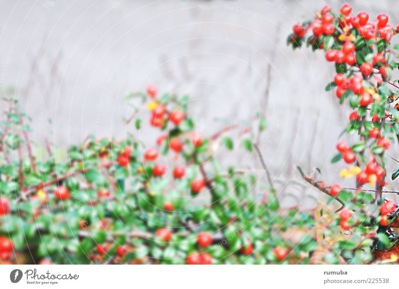 frugalis Natur grün Pflanze rot Blatt Herbst Sträucher Beeren Hecke