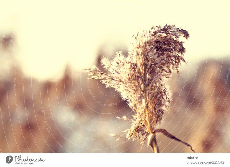Einsam durchs Schilf Natur Pflanze gelb Herbst gold Schilfrohr