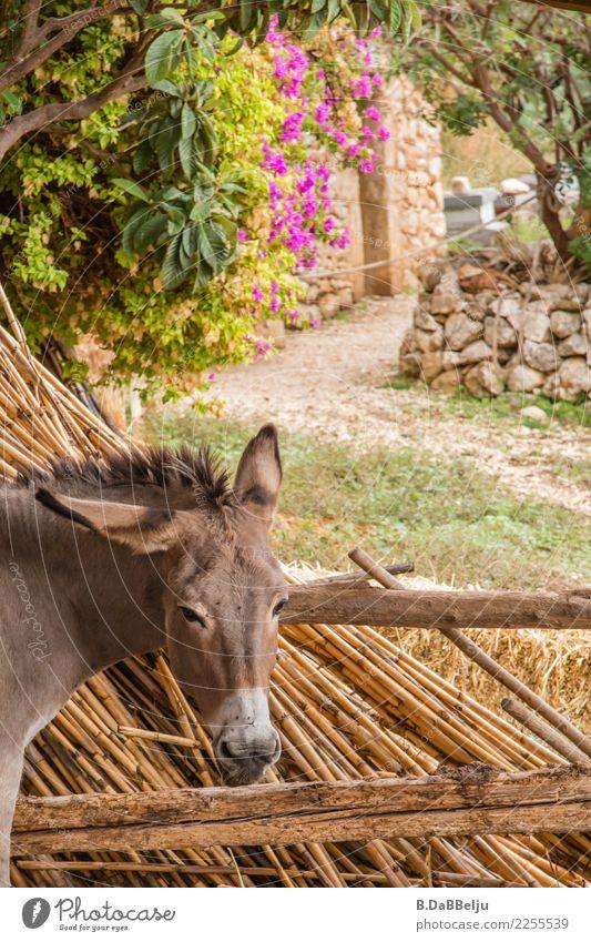 Verpennt und gelangweilt schaut der Esel und lässt sich nicht so schnell aus der Ruhe bringen. Italien Menschenleer Außenaufnahme Tierhaltung artgerecht