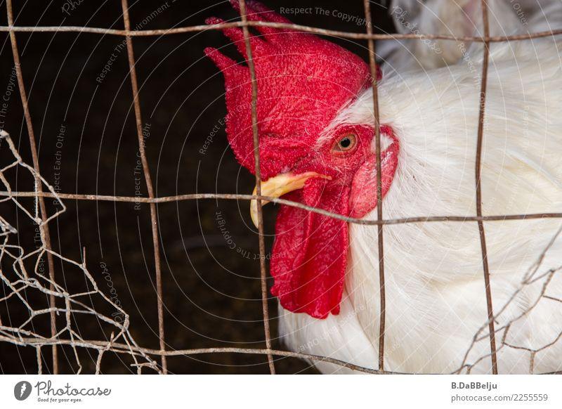 Ich bin hier der Boss... rot Tier Vogel Feder Perspektive beobachten Neugier Bauernhof Ei Interesse Gitter Stolz Vorgesetzter achtsam Nutztier Hahn