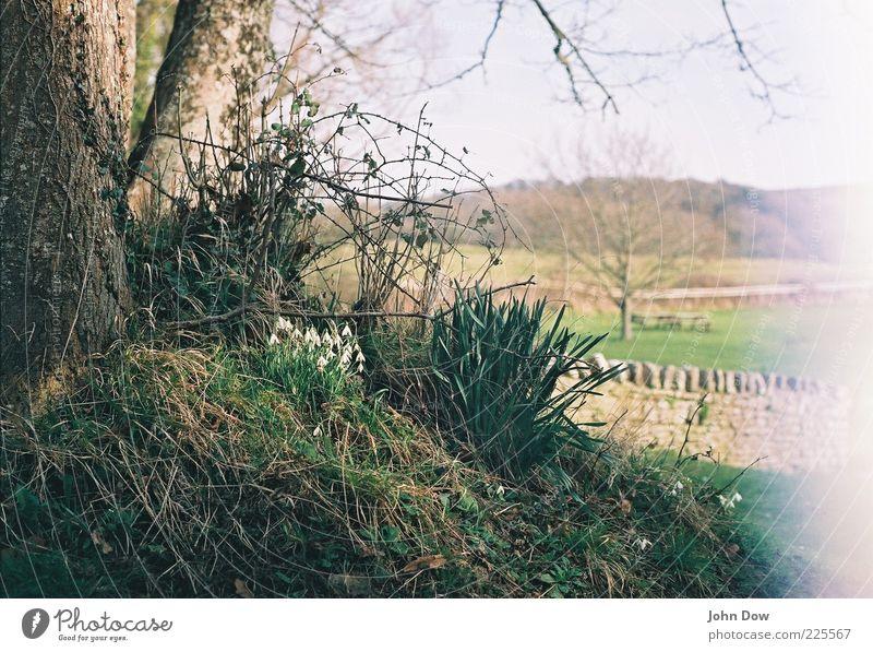Glockenalarm I Natur Baum Landschaft Gras Frühling ästhetisch Sträucher analog Schönes Wetter Moos England ländlich Frühlingsgefühle Schneeglöckchen