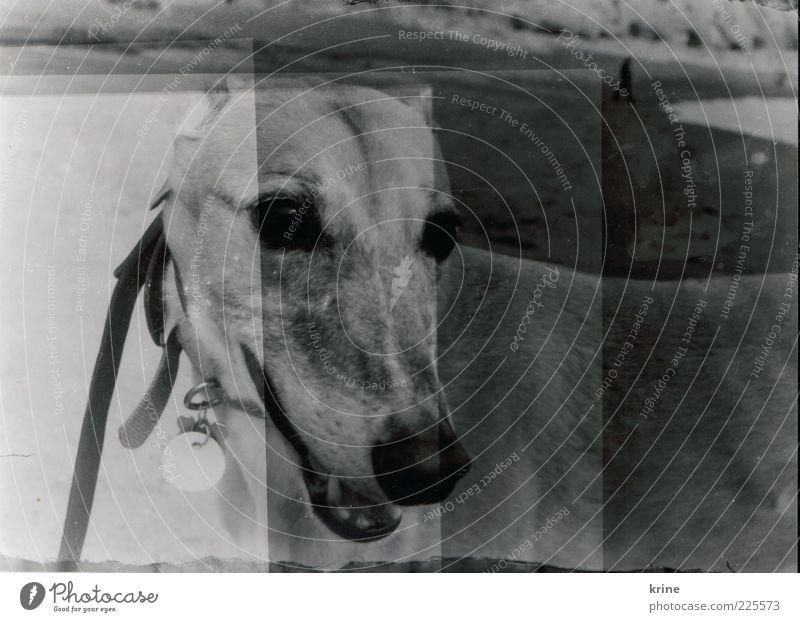 underdog Strand Meer Tier grau Kopf Hund warten ästhetisch Tiergesicht beobachten Doppelbelichtung Haustier Belichtung Schwarzweißfoto Fototechnik