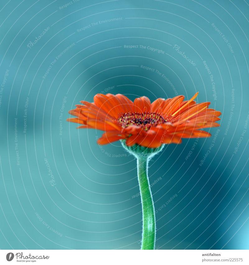 Schöne Gerbera, nicht Aster Natur Pflanze Blume Blüte Astern mehrfarbig grün Stengel Blütenblatt Blütenstiel orange türkis Blütenstempel Farbfoto Innenaufnahme