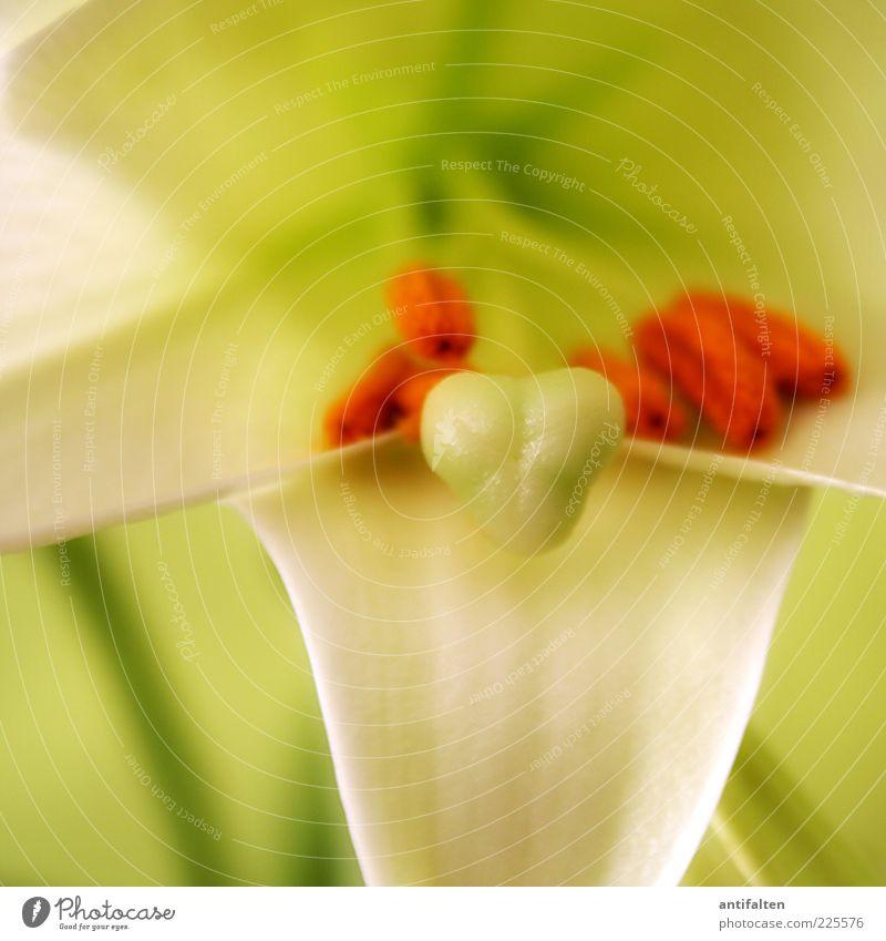 Innenleben Natur Pflanze Blume Blatt Blüte Lilien frisch schön grün weiß orange Blütenstempel Farbfoto mehrfarbig Innenaufnahme Nahaufnahme Detailaufnahme Licht