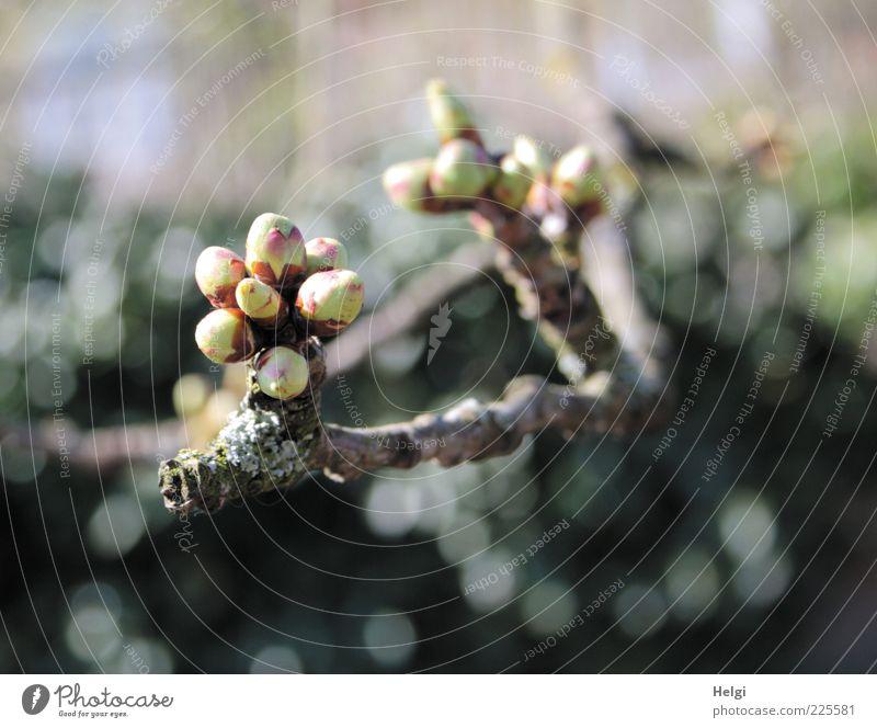 bald... Umwelt Natur Pflanze Frühling Schönes Wetter Baum Blütenknospen Zweig Ast Wachstum ästhetisch einfach frisch klein natürlich braun grau grün