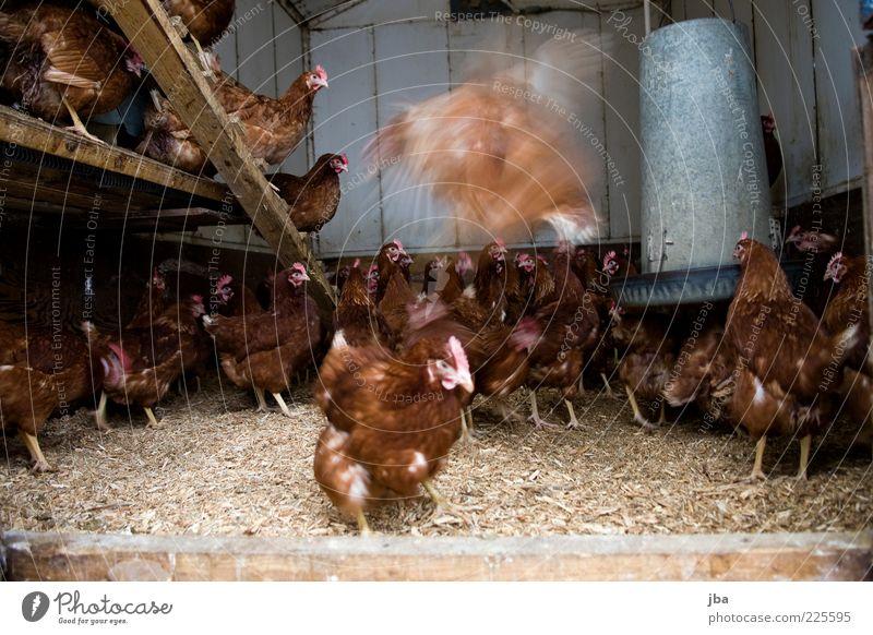 Hühnerstall Tier Holz Bewegung Lebensmittel braun warten fliegen Treppe Feder rund Tiergruppe einfach Neugier beobachten viele Landwirtschaft