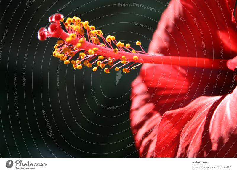 Hibiskus Natur schön Pflanze rot Sommer Blume Farbe Blüte elegant ästhetisch authentisch Blühend Duft Schönes Wetter exotisch Pollen