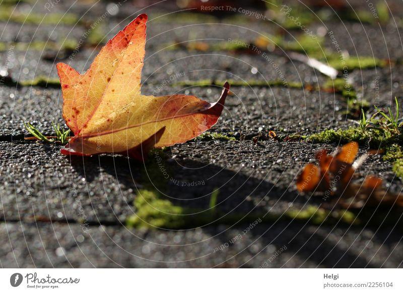 Licht und Schatten Umwelt Natur Pflanze Herbst Schönes Wetter Gras Moos Blatt Ahornblatt Wege & Pfade alt leuchten liegen authentisch einfach einzigartig klein