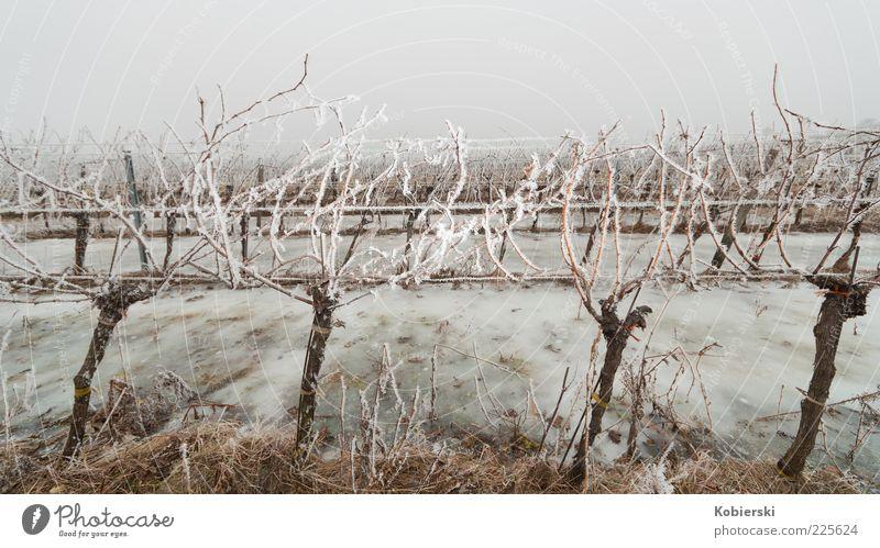 Winter am Weinberg blau Pflanze kalt Gras braun Eis Feld Nebel Klima Frost Kultur bizarr Tradition kahl